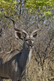 Looking kudu Stock Images