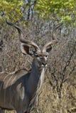 Looking kudu Stock Images