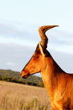Looking Left The Red Harte-beest - Alcelaphus buselaphus caama. Alcelaphus buselaphus caama - The red hartebeest is a species of even-toed ungulate in the family stock photography