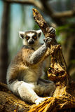 Looking lemur. Staring lemur in the wild Stock Photos