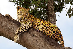 Looking leopard Royalty Free Stock Photography