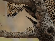 Looking Leopard on a Tree Stock Images