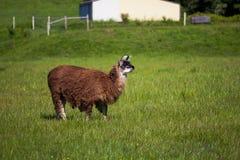 Looking Llama. Llama looking in the faraway in the farm Stock Photography