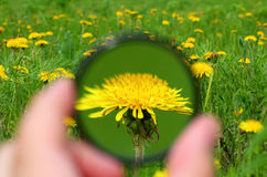 Looking through magnifier on dandelion Royalty Free Stock Photos