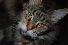Looking Maine Coon Cat Royalty Free Stock Image