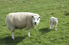 Looking at me!. Border sheep and lamb looking at me in field Stock Images