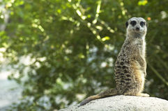 Looking Meerkat Royalty Free Stock Photo