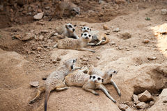 Looking meerkats Royalty Free Stock Photography