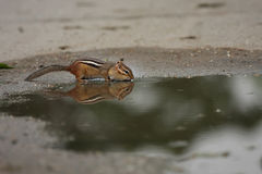 Looking In The Mirror. Cute Chipmunk drinking from a puddle.  Perfect reflection in the water Stock Image