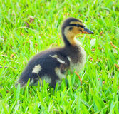 Looking for Mom. A baby Mallard looks for Mom in the tall grass near the bayou Stock Photo