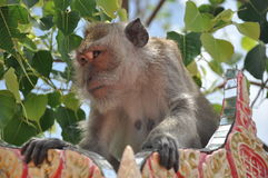 Looking monkey, Thailand Royalty Free Stock Photos