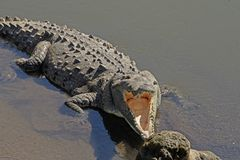 Looking into the Mouth of a Crocodile Stock Photo
