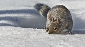 Looking for nuts Mr. Squirrel? royalty free stock photos