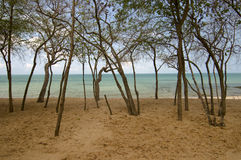 Looking onto the beach. Looking through the tall trees onto the beach stock image