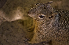 Looking onto a Squirrel. Macro shot of a Squirrel stock photos