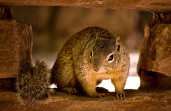 Looking onto a Squirrel. Macro shot of a Squirrel royalty free stock images