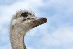 Looking ostrich Stock Image