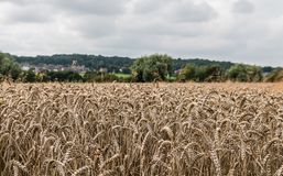Lancashire Wheat Field, Wigan. Looking out over the crops of a wheat field in Lancashire Royalty Free Stock Photo