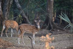On high alert. Photographed in Borivalli national park in Mumbai city where the deer move around freely Stock Images