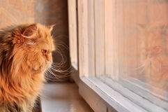 Сat looking out the window. Persian cat looking out the window Royalty Free Stock Images