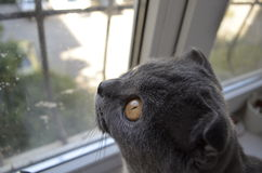 Сat looking out the window. A Scottish Fold looking out the window Royalty Free Stock Photo