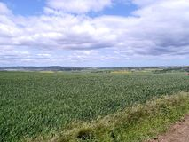 Looking over cornfield Royalty Free Stock Photo