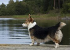 Looking over the water. Welsh corgi youngster standing on a jetty Stock Images