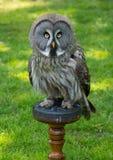 Looking owl Stock Image