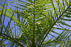 Looking from within palm tree. Inside of palm tree, looking out to a bright blue tropical sky, Florida stock images