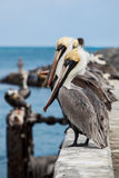 Looking Pelicans. Group of Pelicans sitting on pier in Florida Stock Photography