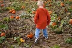 Looking for the perfect pumpkin. Boy looking for pumpkin in a pumpkin patch Royalty Free Stock Image