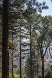 Looking Through The Ponderosa Pine Trees. Looking through a forest of Ponderosa trees Royalty Free Stock Photography