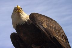 Looking for a prey. The American Bald Eagle, a beautifull bird and the symbol of America stock photos