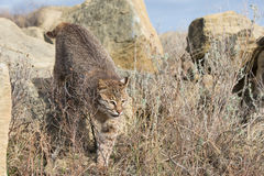 Looking for prey in prairie grass Stock Image