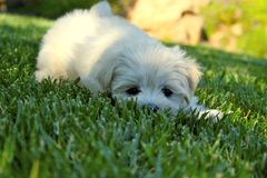Looking Puppy. A puppy that is just about to pounce, or maybe not Stock Image