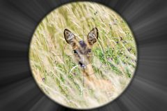 Looking through the riflescope of a hunter at a deer stock photography