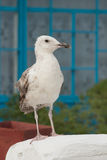 Looking Seagull Royalty Free Stock Images