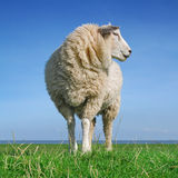 The looking sheep Stock Images