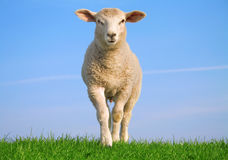 The independent sheep Stock Photo