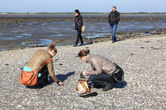 Looking for shells on sandbank in the Wadden Sea royalty free stock photography