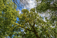 Looking into the Sky through trees Royalty Free Stock Photos