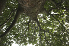 Looking skyward from the base of a tree. Stock Images