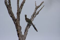 Looking Skyward. A roadrunner in a dead tree looking up as if wishing to fly higher royalty free stock photos