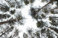 Looking skyward to tree tops Royalty Free Stock Images