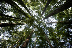 Looking skyward through towering redwood trees. Stock Photography