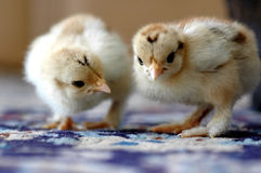Looking for something. Two newly born cochin chicken on the carpet Royalty Free Stock Image