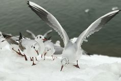 Looking for something to it!. On a cold winter day the earth& x27;s surface were covered by snow and the seagulls were looking for something to eat Stock Image