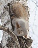 Looking squirrel Stock Photos