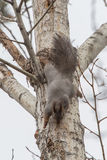 Looking squirrel Stock Photography