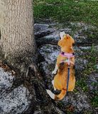 Looking for a squirrel. Sweet beagl  teased by squirrel,  park, satellite beach, florida Stock Photography